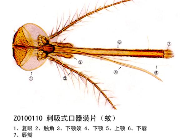 刺吸式口器装片(蚊)