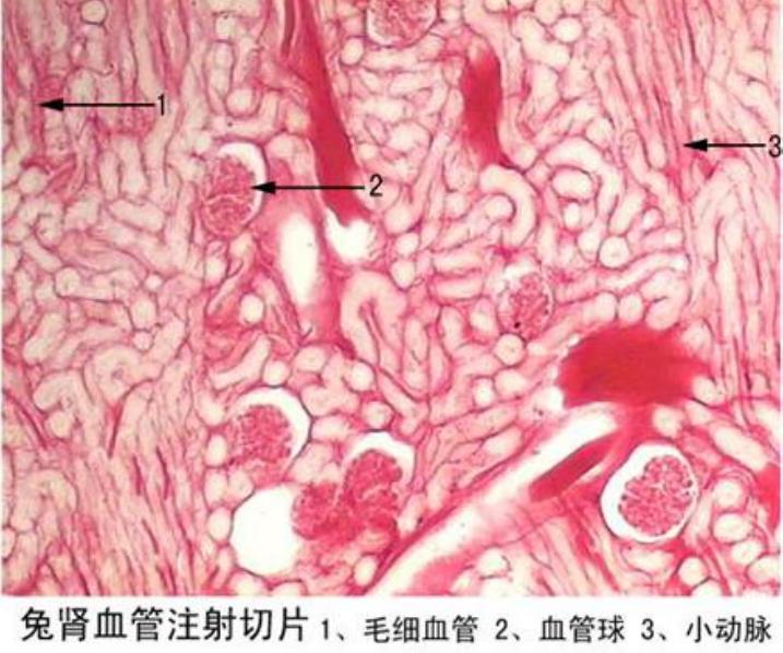 兔肾血管注射切片