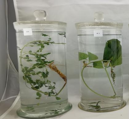 黄芪中草药浸制标本