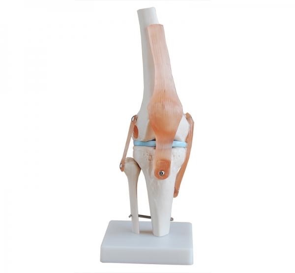 自然大膝关节模型