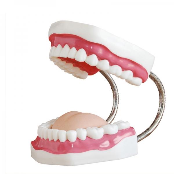 口腔保健护理模型
