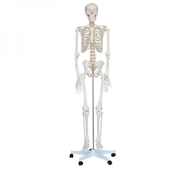 人体骨骼模型180CM